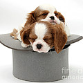 King Charles Spaniel Puppies by Mark Taylor