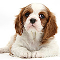 King Charles Spaniel Puppy by Mark Taylor