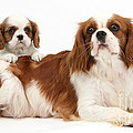 King Charles Spaniels by Mark Taylor