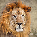 King Of Beasts Portrait Of A Lion by Louise Heusinkveld