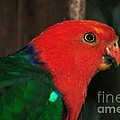 King Parrot - Male 2 by Kaye Menner