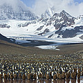 King Penguin Aptenodytes Patagonicus by Suzi Eszterhas