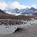 King Penguin Breeding Colony by Charlotte Main