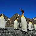 King Penguins - Road Block by Tony Beck