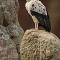 King Vulture Sarcoramphus Papa Perched by Pete Oxford