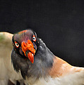 King Vulture by Susan Cliett