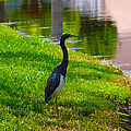 Kissimmee Pond Bird by Richard P Davis