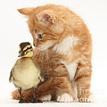 Kitten And Duckling by Mark Taylor