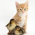 Kitten And Ducklings by Mark Taylor