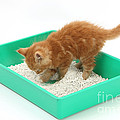 Kitten And Litter Tray by Mark Taylor