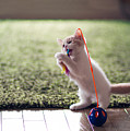 Kitten Catches Feather Toy by Benjamin Torode