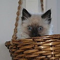 Kitten In Basket by Diana Poe