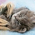 Kitten In Blanket by Mark Taylor