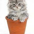 Kitten In Pot by Mark Taylor