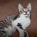 Kitten Laying On Carpet by CasaBlanca Images