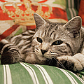 Kitten Lying On Striped Couch by Kim Haddon Photography