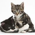 Kitten Pals by Mark Taylor