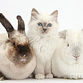 Kitten With Rabbits by Mark Taylor