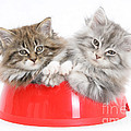 Kittens In A Food Bowl by Mark Taylor