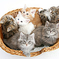 Kittens In Basket by Mark Taylor