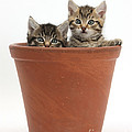 Kittens In Flowerpot by Mark Taylor