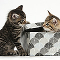 Kittens Playing With Box by Mark Taylor