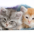 Kittens Under Blanket by Mark Taylor