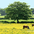 Knee High In Buttercups by Susan Wall
