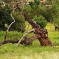 Knotty Tree by Vicki Lomay