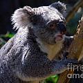 Koala In A Gum Tree by Rob Hawkins