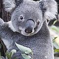 Koala In Tree by Paul Hobson