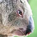 Koala Profile Portrait by Johan Larson