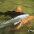Koi Fish 05 by Catherine Lau