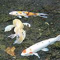 Koi Fish by Raquel Amaral