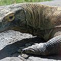 Komodo Dragon by Elizabeth Rose
