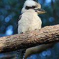 Kookaburra by Sean Foreman