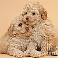 Labradoodle Puppies by Mark Taylor