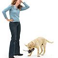 Labrador Golden Retriever Pup Chewing by Mark Taylor