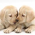 Labrador Retriever Puppies by Mark Taylor