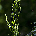 Lacy Wild Alabama Fern by Kathy Clark