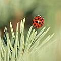 Lady Beetle on a Needle