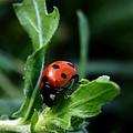Lady Bug by Karen Harrison