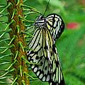 Lady Butterfly by Joann Vitali