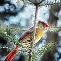 Lady Cardinal by Peg Runyan