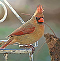Lady Cardinal With Her Crown On by Debbie Portwood