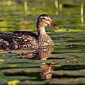 Lady Duck 1 by Dan Wells