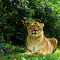Lady Lion Relaxing by Susan Savad