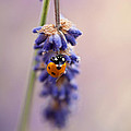Ladybird And Lavender by John Edwards