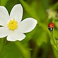 Ladybird Beetle by Mircea Costina Photography