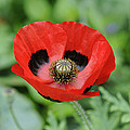 Ladybird Poppy Papaver Commutatum by VisionsPictures